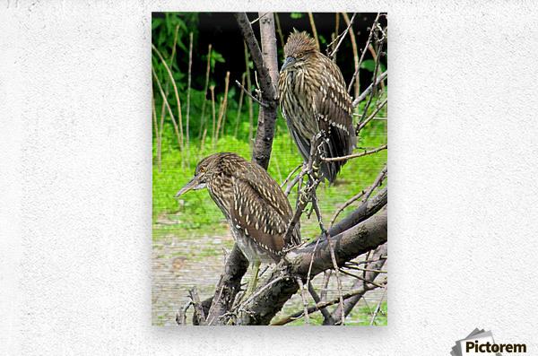 Birds in Lincoln Park   Metal print