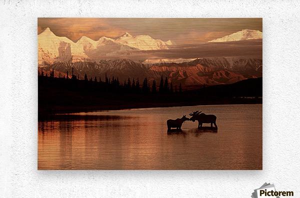 Moose Kissing  Metal print