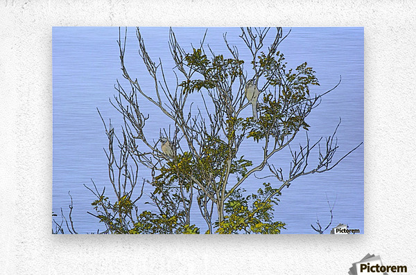 Two Blue Jays in Tree 2 abstract  Metal print