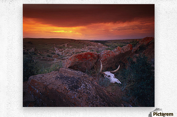 Cow Skull With Large Rocks In Field With Sunset, Writing On Stone Provincial Park, Alberta, Canada  Metal print