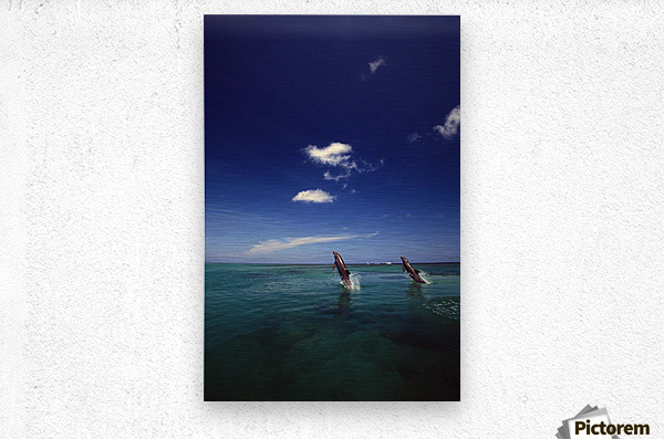 Two Bottlenose Dolphins Dancing Across Water On Tails, Caribbean Sea  Metal print