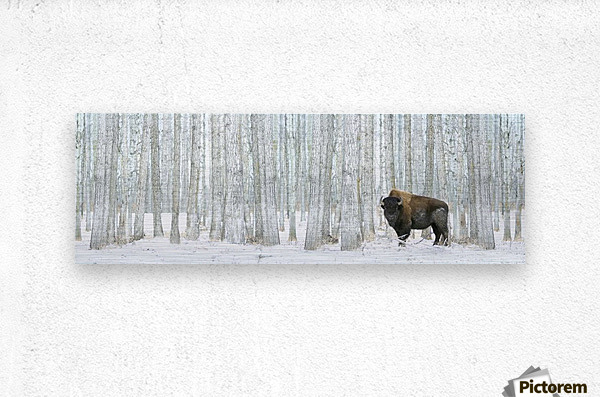 Buffalo Standing In Snow Among Poplar Trees In Elk Island National Park; Alberta, Canada  Metal print