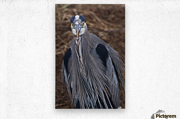 Face on view of great blue heron  Metal print