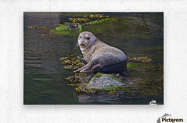 Sea lion near Depoe Bay, OR  Metal print