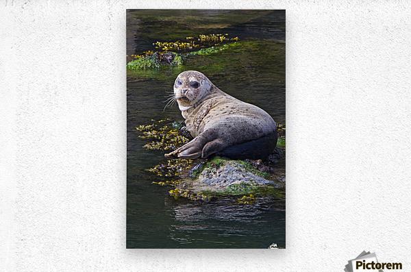 Sea lion portrait near Depoe Bay, OR  Metal print