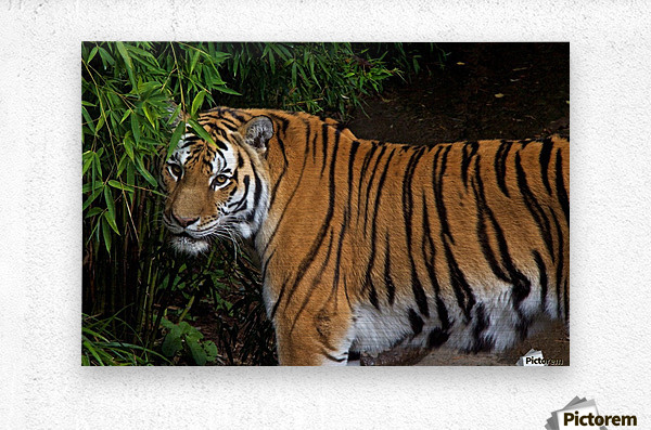 Female Tiger  Metal print