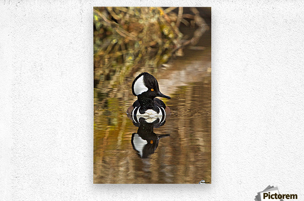 Hooded Merganser Drake Reflection-portrait  Metal print