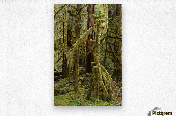 Moss covered tree in the Opal Creek Wilderness, Oregon  Metal print