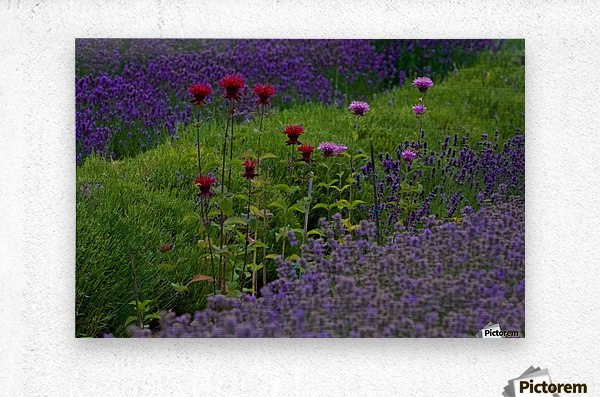 Bee Balm Blooming in Lavender Field  Metal print