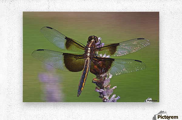Dragonfly on Lavender  Metal print