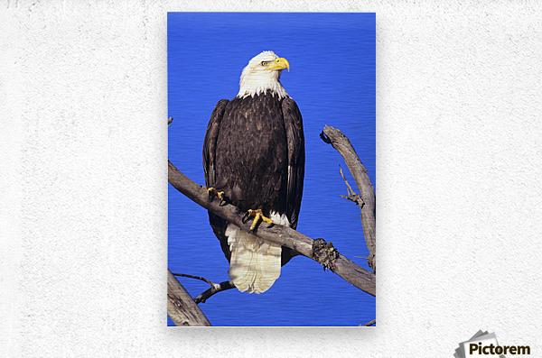 Alaska, Haines Bald Eagle Reserve, Bald Eagle (Haliaeetus Leucocephalus) Perched On A Branch.  Metal print