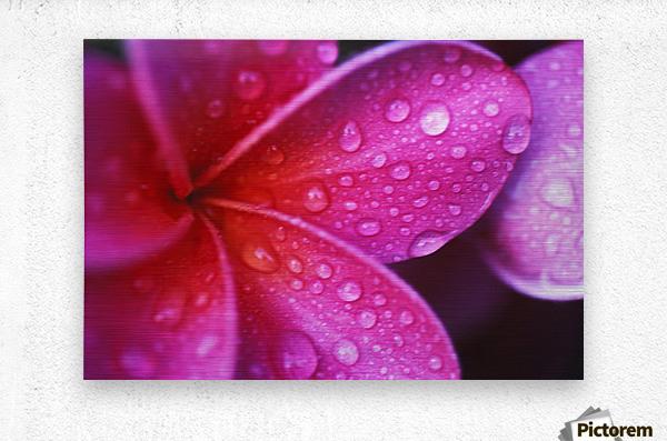 Hawaii, Maui, Extreme Close-Up Purple Pink Plumeria Blossom Water Droplets Aka Frangipani  Metal print