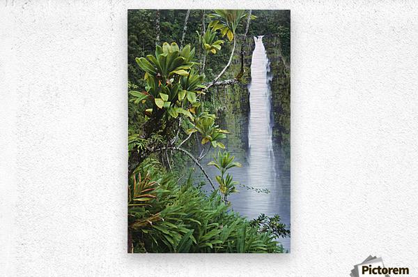 Hawaii, Big Island, Akaka Falls Surounded By Ti-Leafs And Greenery.  Metal print