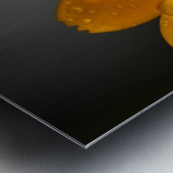 Close up of water droplets on orange flower petals; South Shields, Tyne and Wear, England Metal print
