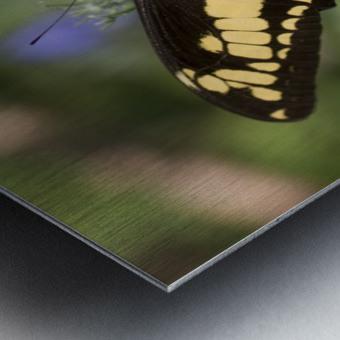 King swallowtail butterfly Metal print