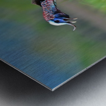 7_Gobbling Turkey Metal print