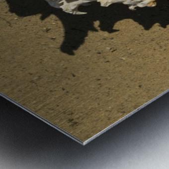 Murex Ramosun Rams Horn Shell Metal print