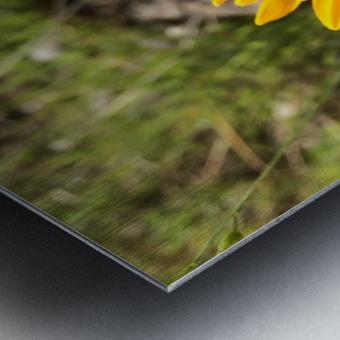 Butterfly on Arrowleaf  Metal print