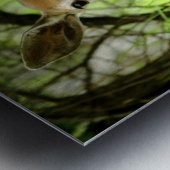 White   Tailed Deer Close Up Metal print
