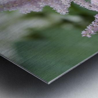 Pink Astilbe 1 Metal print