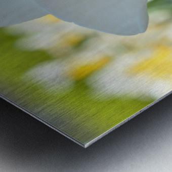 White Daffodil Photograph Metal print