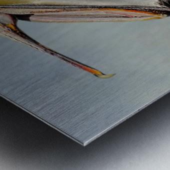 Belly Laugh-Brown Pelican  Metal print