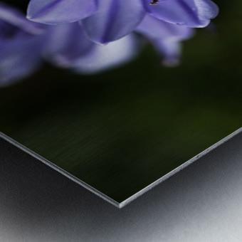 Agapanthus Blue Metal print