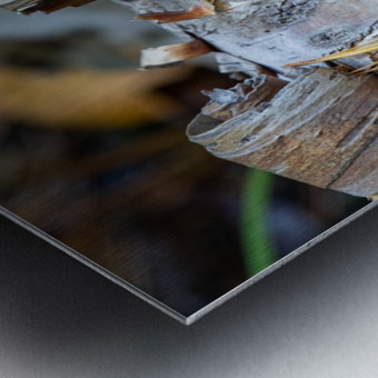 Fallen Birch Metal print