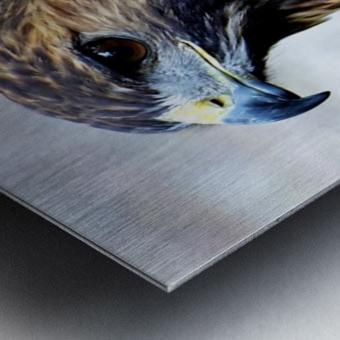 Hawk  Metal print