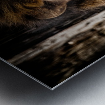 A Regal Lion Metal print