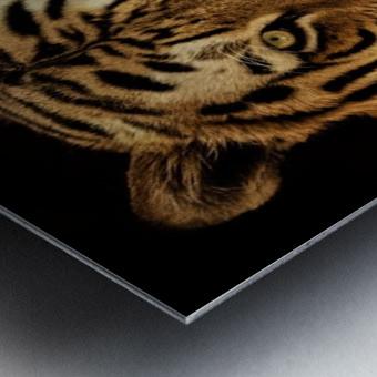 Massive Siberian Amur Tiger  Metal print
