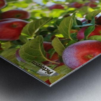 Apples Orchard- Harvest Metal print