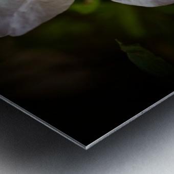 White Azalea  Metal print