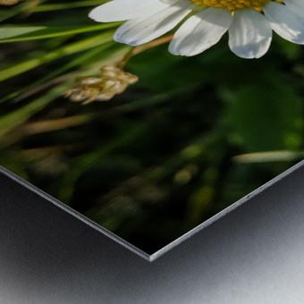 Little daisy in grass Metal print