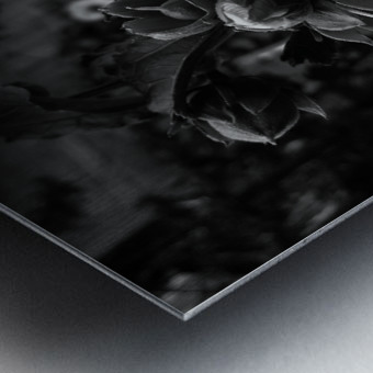 Blooming flower in black and white Metal print