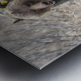 6970 - Grizzly Bear 2160 Metal print