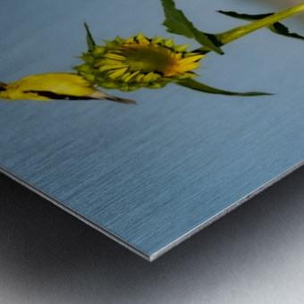 Sunflower Perch Metal print