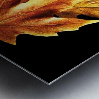 Fall Maple Leaves 1 Metal print