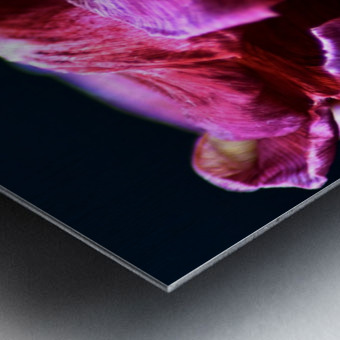 Tulip 5 Metal print