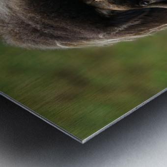 Muskox Metal print