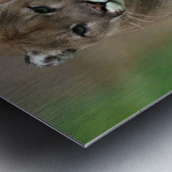 North American Cougar Metal print