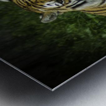 Next Strike  Tiger  Metal print