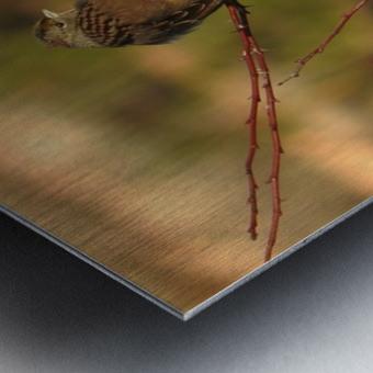 Sparrow on Wild Rose  Metal print
