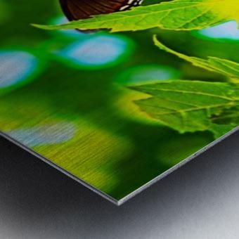 Resting on A Maple Leaf Metal print