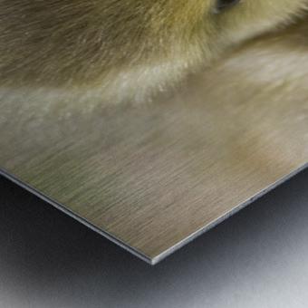 Fuzzy Gosling Metal print