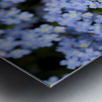 Victoria, British Columbia, Canada; Blooming Blue Flowers Metal print