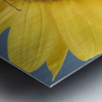 Monarch Butterfly On Sunflower. Metal print