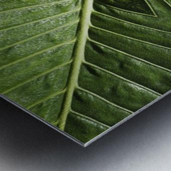 Close up of vein patterns in leaves;Gold coast queensland australia Metal print