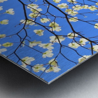 Blue Sky and Dogwood Metal print