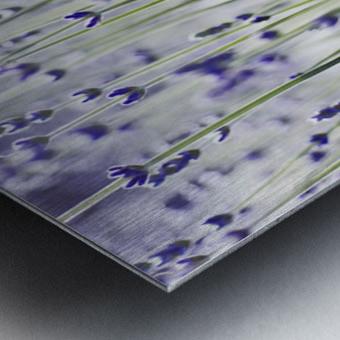 Lavender (Lavandula Angustifolia), Many Sprigs Growing In Field. Metal print